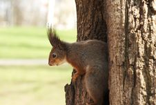 Free Squirrel Royalty Free Stock Images - 4906919