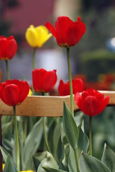 Free Tulip While Bursting Forth. Royalty Free Stock Photos - 4907268