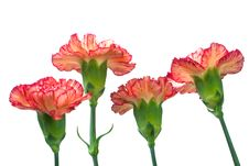 Free Carnation Stock Photos - 4907723