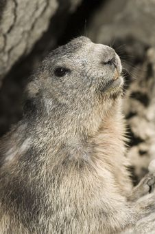 Free Marmot Gaze You. Royalty Free Stock Photo - 4907745