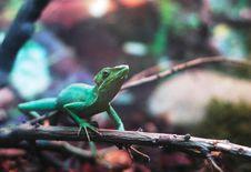 Free Lizard Royalty Free Stock Photos - 4907838