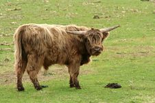 Free Highland Cow In A Field Stock Photography - 4908332