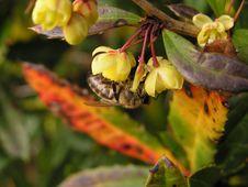 Free Bee Gathering Pollen Stock Photos - 4909633