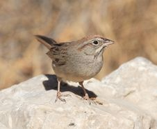 Rufous-Crowned Sparrow Stock Images