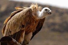 Free Griffon Is Resting Royalty Free Stock Images - 4909849