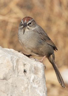 Rufous-Crowned Sparrow Stock Photo
