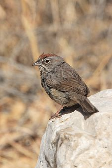 Rufous-Crowned Sparrow Royalty Free Stock Image