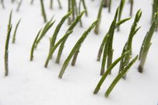 Plants In Snow Royalty Free Stock Photo