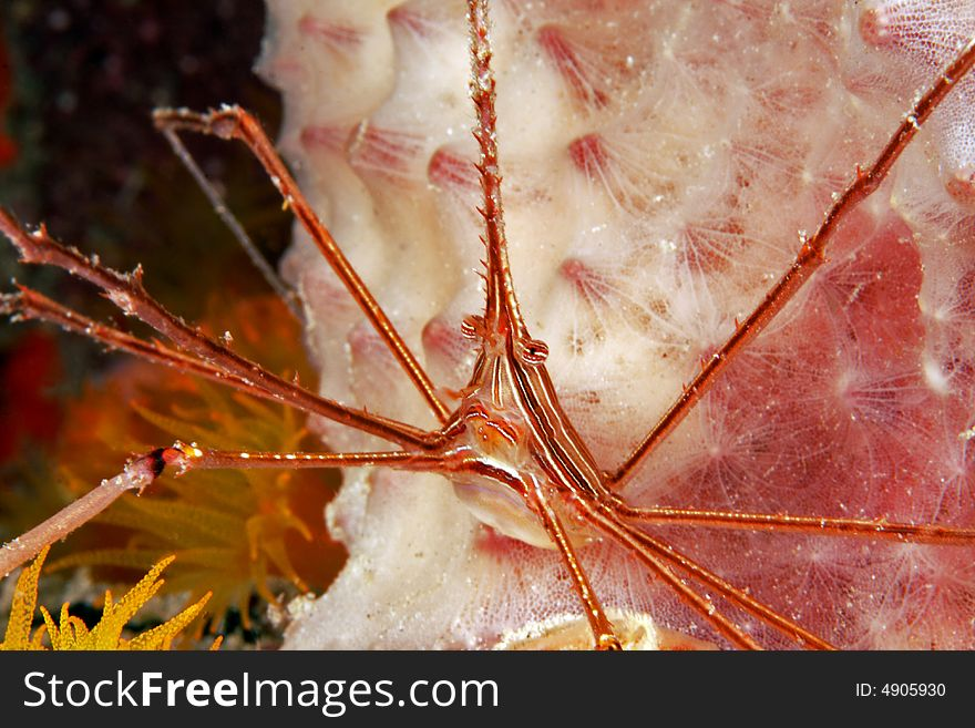 Yellowline arrow crab (stenorhynchus seticornis)