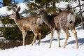 Free Mule Deer 2 Royalty Free Stock Image - 4914456