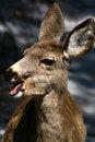 Free Mule Deer 3 Royalty Free Stock Photography - 4914727