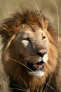Free Majestic Lion Portrait In The Grass Royalty Free Stock Photos - 4916458
