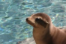 Free Sea Lion Stock Image - 4910161