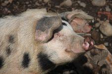 Free Sunbathing Pig Royalty Free Stock Images - 4910569