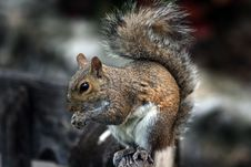 Free Squirrel Stock Photography - 4910602