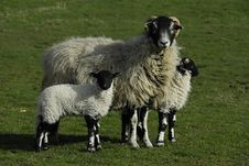 Free Sheep With Twin Lambs Stock Photography - 4910662