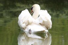 Free Swan Royalty Free Stock Photo - 4911155