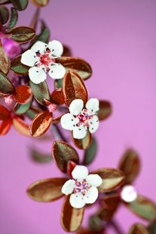 Free Small Branch Of White Flowers And Pink Background Stock Photography - 4911162