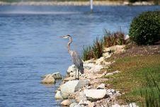 Free Heron Stock Images - 4911184