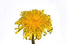 Free Dandelion Flower Stock Photography - 4911362