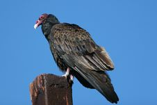 Free California Turkey Vulture Royalty Free Stock Image - 4912046