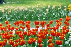 Free Tulips. Royalty Free Stock Photo - 4912305
