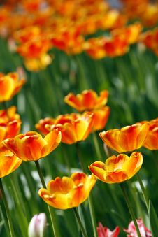 Free Red And Yellow Tulips Stock Image - 4912501