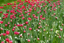 Free Red Tulips Royalty Free Stock Photo - 4912505