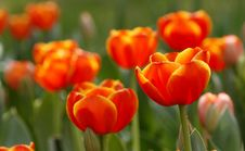 Free Red Tulips Stock Image - 4912571