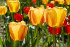 Free Garden With Colored Tulips Stock Images - 4912754