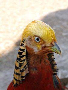 Free Gold Pheasant Stock Photos - 4913243