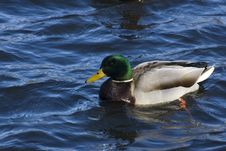 Free Mallard Duck Royalty Free Stock Images - 4913399
