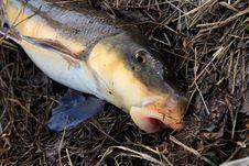 Free Sucker Fish Stock Photo - 4913830