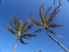 Free Coconut Trees Royalty Free Stock Images - 4913839