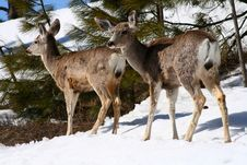 Free Mule Deer 2 Royalty Free Stock Image - 4914456