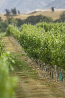 Free Vineyard Stock Images - 4914664