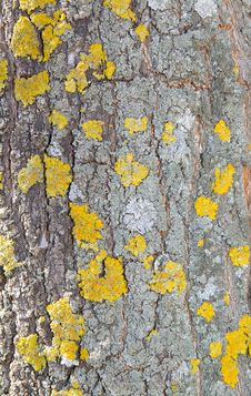 Free Bark Of A Tree A Lichen Stock Photos - 4915703