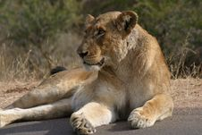 Lioness Basking In The Sun Royalty Free Stock Photography
