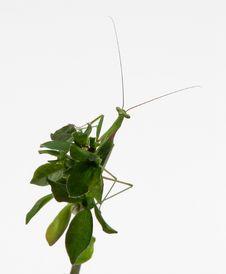 Free Praying Mantis Sitting On Leaves Royalty Free Stock Image - 4916026