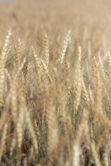 Free Field Of Wheat Stock Image - 4916261