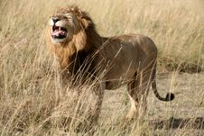 Free Majestic Lion Standing Growling In The Grass Royalty Free Stock Image - 4916306