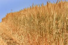 Free Field Of Wheat Royalty Free Stock Photography - 4916667