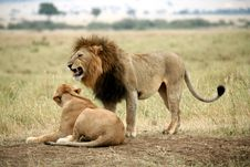 Free Lion Cautiously Approaches A Lioness Royalty Free Stock Photo - 4916695