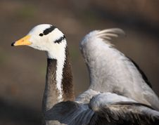 Free Goose Portrait - High Detail Stock Images - 4916734