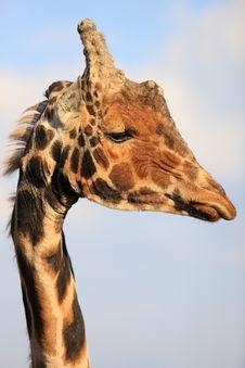 Free Portrait Of Giraffe Royalty Free Stock Photos - 4916778