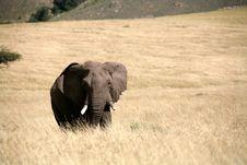 Free Elephant Walks Through The Grass Royalty Free Stock Photos - 4916978
