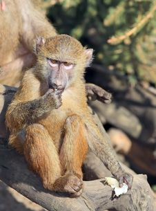 Free Little Monkey (baboon) Royalty Free Stock Photos - 4916998