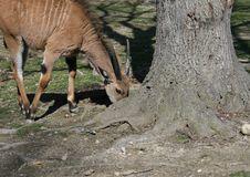 Little Eland (Taurotragus Oryx) Stock Image