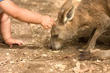 Free Kangaroo And Human Child Relationship Stock Photos - 4917283