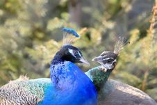 Free Peacocks In Love Stock Image - 4918331